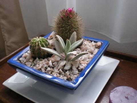 arreglos de cactus en macetas muy bonitas
