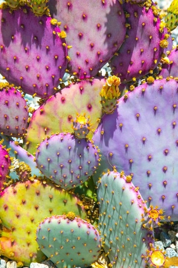 cactus de colores naturales bonitos