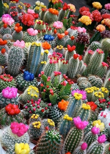 cactus de colores naturales y variados