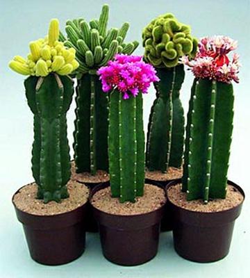imagenes de cactus con flores increibles