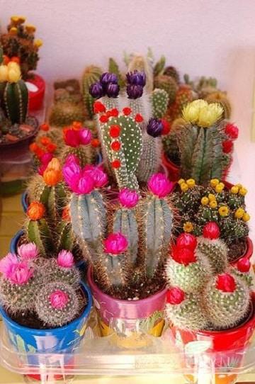 como hacer cactus de colores cuidados